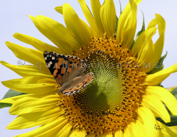 Sunflower Print - Painted Lady II