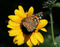 Sunflower Print - Painted Lady